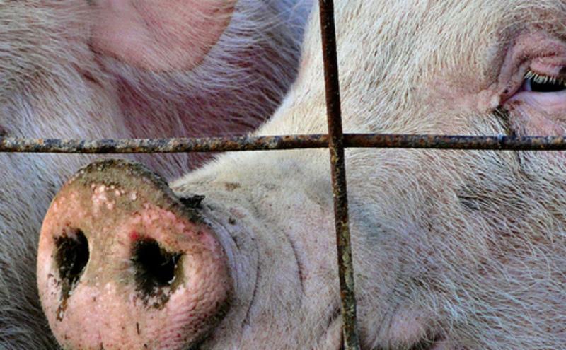 China_pigs_CindyCornettSeigle